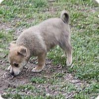 Adopt A Pet :: Chelsea - PENDING - kennebunkport, ME