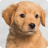 Adopt A Pet :: Rebecca - Minneapolis, MN