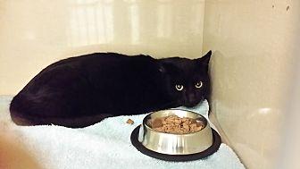 Domestic Shorthair Kitten for adoption in Westbury, New York - Jet