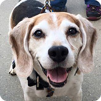 Beagle Dog for adoption in Palatine, Illinois - Ricky