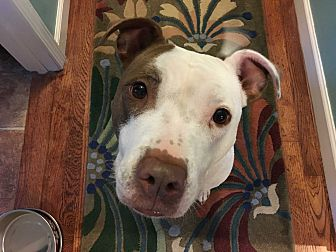 American Staffordshire Terrier Mix Dog for adoption in Livonia, Michigan - Gracie