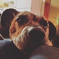 Adopt A Pet :: Chaya - Gunnison, CO