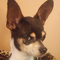 Chihuahua Mix Dog for adoption in Plainfield, Connecticut - Little Man