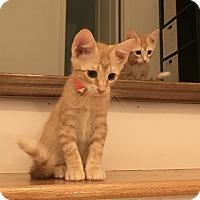 Adopt A Pet :: Roxy TG - Schertz, TX