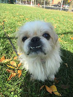 Pekingese Dog for adoption in Chicago, Illinois - Dougie