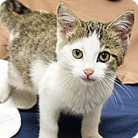 Adopt A Pet :: Adonis - Chicago, IL
