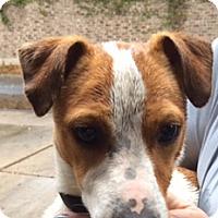 Adopt A Pet :: Darwin in McAllen - San Antonio, TX