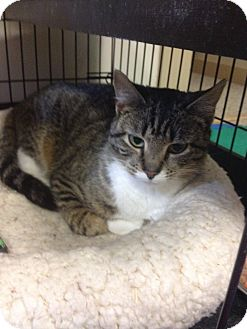 Domestic Shorthair Cat for adoption in Portland, Maine - Mittens