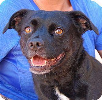 Pug/Beagle Mix Dog for adoption in Las Vegas, Nevada - Vanna