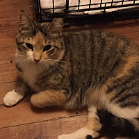 Calico Cat for adoption in Medford, New Jersey - Cali (Jeannie's Cat)
