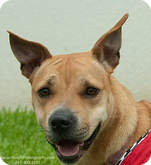 Beagle/Labrador Retriever Mix Dog for adoption in Vancouver, British Columbia - Foxi Roxi