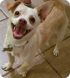 Dachshund/Toy Fox Terrier Mix Dog for adoption in Phoenix, Arizona - Hansel