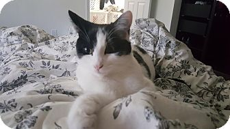 Domestic Shorthair Kitten for adoption in Alamo, California - Jasper