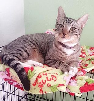 Domestic Shorthair Cat for adoption in Lawton, Oklahoma - BIG BABY