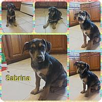 Adopt A Pet :: Sabrina in CT - Manchester, CT