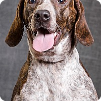 Pointer Mix Dog for adoption in Owensboro, Kentucky - DarcyDRD program