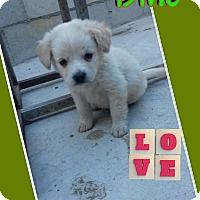 Adopt A Pet :: Dino - LAKEWOOD, CA