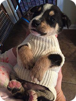 Australian Shepherd Mix Puppy for adoption in Glastonbury, Connecticut - Oliver