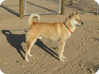 Jindo Dog for adoption in Southern California, California - Daibok