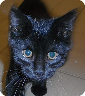 Domestic Shorthair Kitten for adoption in Jackson, Michigan - Butch