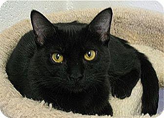 Domestic Shorthair Cat for adoption in Huntington, New York - Tornado