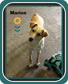 Labrador Retriever Mix Dog for adoption in New Richmond,, Wisconsin - Marion