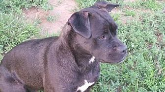 Boxer/Pit Bull Terrier Mix Dog for adoption in Post, Texas - Bonnie