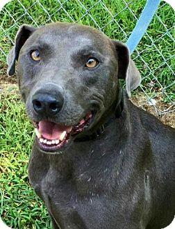 Weimaraner Mix Dog for adoption in Washington, D.C. - Logger
