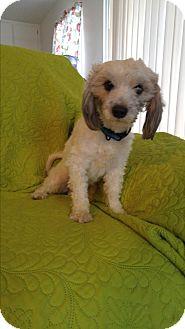 Poodle (Miniature)/Maltese Mix Dog for adoption in LAKEWOOD, California - Rudy