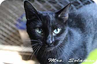 Domestic Mediumhair Cat for adoption in Texarkana, Arkansas - Mrs. Solamon