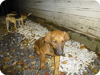 Retriever (Unknown Type) Mix Puppy for adoption in Glastonbury, Connecticut - Carsonn