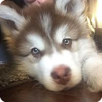 Adopt A Pet :: Gilroy - 3 months - Augusta County, VA