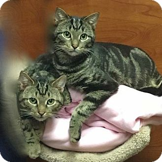 Domestic Shorthair Cat for adoption in Long Beach, New York - Mick Jagger