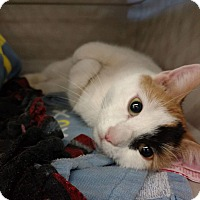 Adopt A Pet :: Junipurr - Putnam, CT