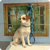 Chihuahua Dog for adoption in San Bernardino, California - URGENT ON 4/18  San Bernardino