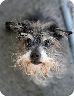Terrier (Unknown Type, Medium)/Wirehaired Fox Terrier Mix Dog for adoption in Chattanooga, Tennessee - Tickles
