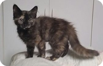 Domestic Shorthair Kitten for adoption in Red Bluff, California - Charlene