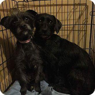 Terrier (Unknown Type, Small)/Dachshund Mix Dog for adoption in San Antonio, Texas - April