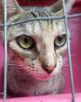 Calico Cat for adoption in Ocala, Florida - Bambi