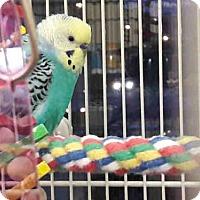 Adopt A Pet :: SQUIDWARD - Pittsburgh, PA