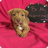 Adopt A Pet :: Berklee - Grand Rapids, MI