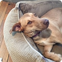 Adopt A Pet :: Abbey Great Outdoor Dog! Loves the water & hiking! - Rowayton, CT