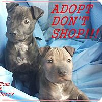 Adopt A Pet :: Tom - El Cajon, CA