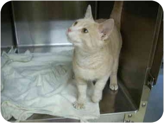 Domestic Shorthair Cat for adoption in Bartlett, Tennessee - Milo