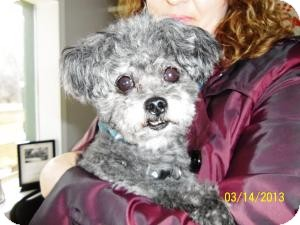 Poodle (Toy or Tea Cup) Dog for adoption in Shawnee Mission, Kansas - Buddy Wilson