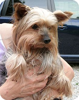 Yorkie, Yorkshire Terrier Dog for adoption in Delaware, Ohio - Kylie