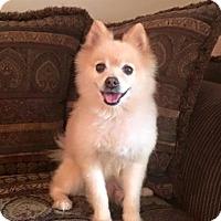 Adopt A Pet :: WINSTON CHURCHILL - Boca Raton, FL