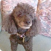 Adopt A Pet :: SUGAR GIRL - Melbourne, FL
