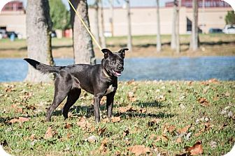 Pit Bull Terrier/Labrador Retriever Mix Dog for adoption in Madionsville, Kentucky - Mocha