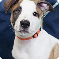 Adopt A Pet :: Bellagio - Bellbrook, OH